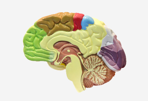 Fale mózgowe - zapis elektrycznej aktywności mózgu